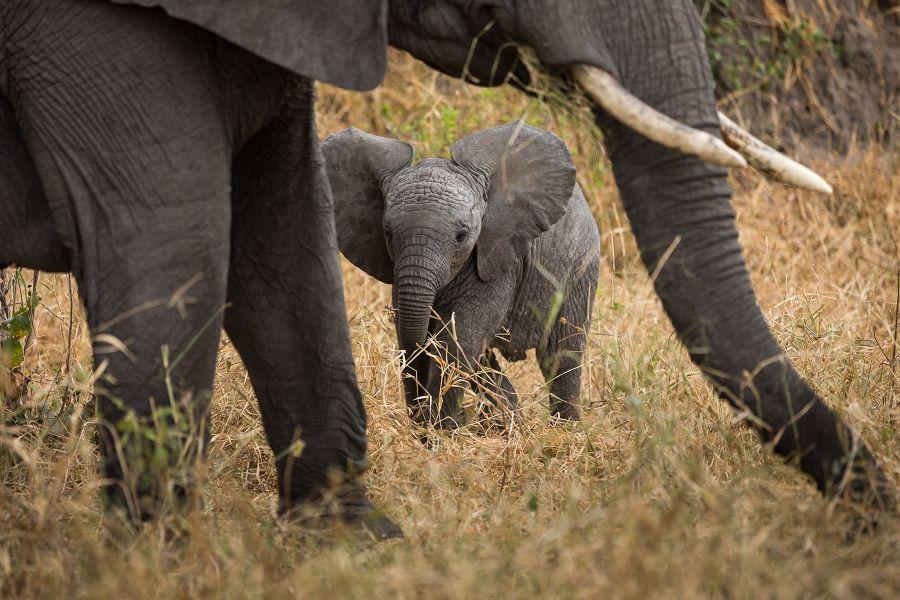 Elefantunge i Tarangire Nationalpark
